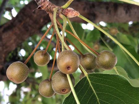Manchuria pear fruit, photographic picture