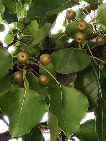 Photo pictures of the leaves and fruits of the Manchuria pear