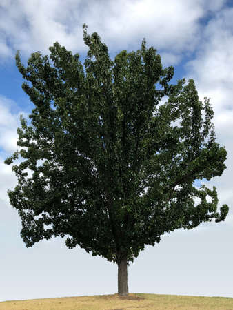 Manchuria pear tree, photographic picture