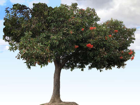 Flowering gum tree, photographic picture