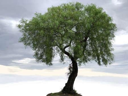 Pepper tree, photograph