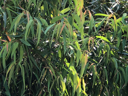 Leavesof Smooth-Barked Apple Myrtle , photographic pictures.