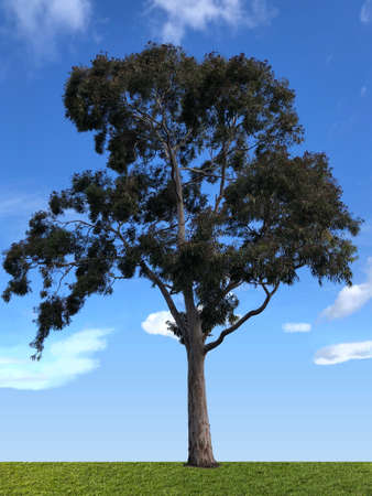 Smooth-Barked Apple Myrtle, photographic picture. Stock Photo
