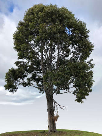 Smooth-barked Apple Myrtle tree
