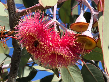 Leaves, flowers and gum nuts of Silver princess gum tree