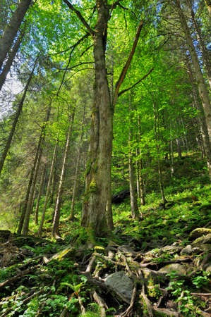 centenarian: Forest on a high mountain slope Stock Photo