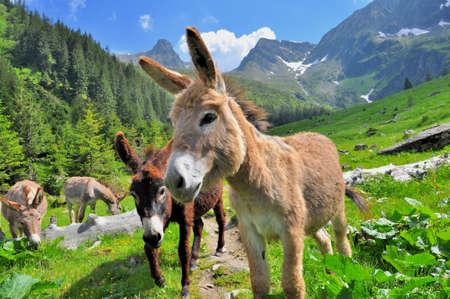 ears donkey: Mountain valey landscape with donkeys