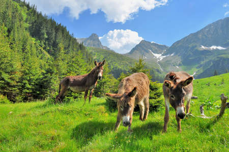 Donkeys close up portrait - on the high mountains photo