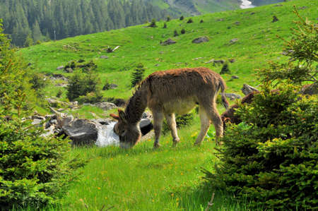 house donkey: Donkey grazing in the mountains