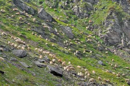 hidef: Sheeps grazing grass between mountain rocks Stock Photo