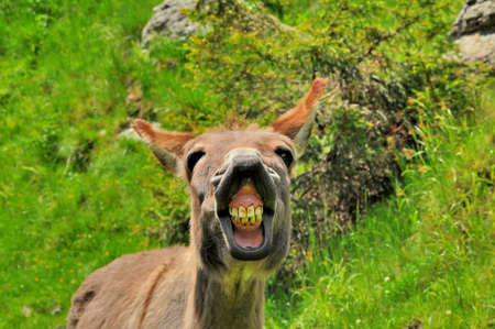 Big smile of donkey Stock Photo