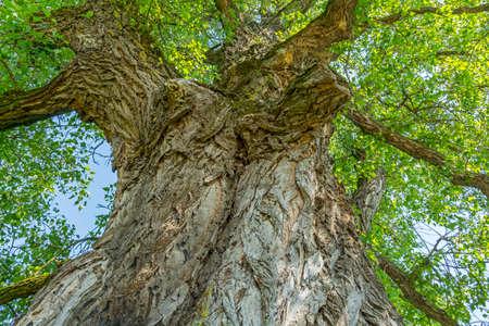arbol alamo: Tronco y las ramas de un árbol de álamo viejo trescientos en verano.