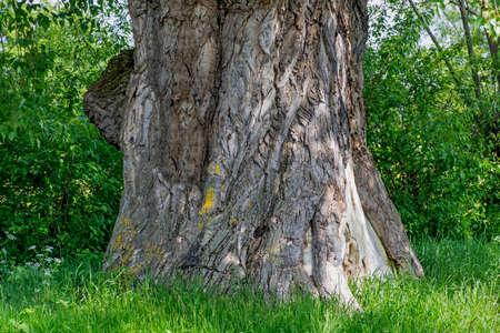 arbol alamo: Tronco de un �rbol viejo �lamo grande trescientos
