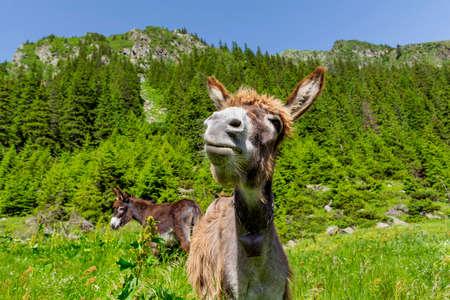 funny donkey: Funny donkey portrait with mountain landscape in background Stock Photo