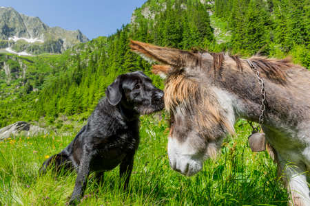 Dog kissing his donkey friend on forehead. Love story. Multicultural friendship stories. Stock Photo