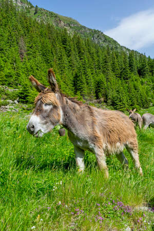house donkey: Beautiful brown colored donkey grazing in the bright green grass on a sunny day in the Carpathian Mountains Stock Photo