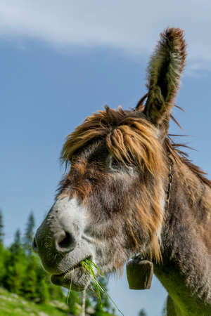 house donkey: Beautiful brown colored donkey  close up portrait on a sunny day in the Carpathian Mountains