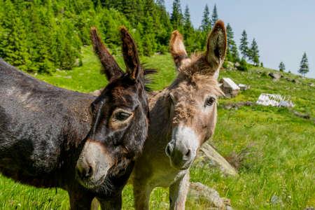 Beautiful couple of donkeys in Carpathians mountains