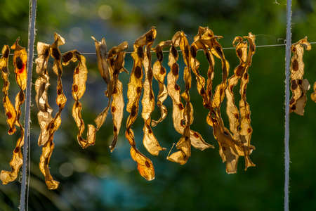 bean pod: Romanian traditional dried steaming bean pod, preserved for winter in the sunlight.