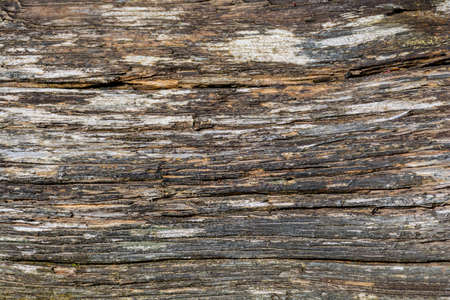 Weathered mountain pine tree trunk texture. Gray structure of old wood with cracks. Detail of dead wood.