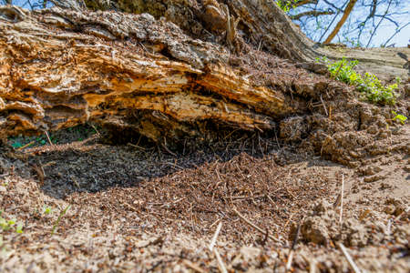Anthill of red wood ants on the old oak tree stump. Red working ants on an old log.