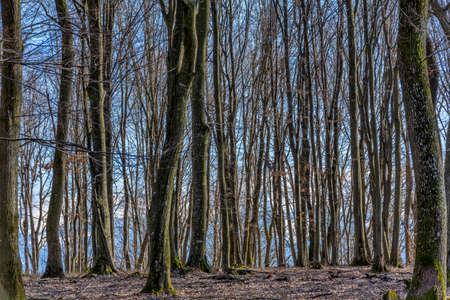 Beech forest without leaves in spring or autumn in Carpathian mountains. Empty forest tree in sunny day, Natural idyllic place in peaceful wood.