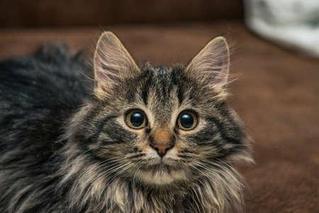 Cute brown tabby kitten investigating room. Baby cat sniff air. Cute fur kitten on bed.