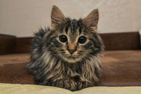 sniff: Cute brown tabby kitten investigating room. Baby cat sniff air. Cute fur kitten on bed.