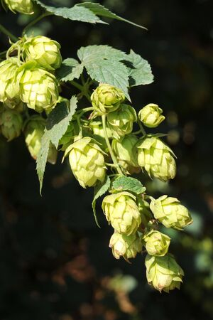 Close up of hops growing