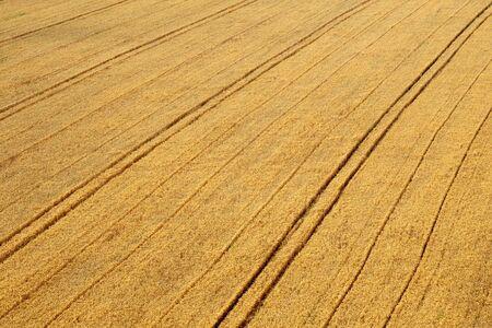 Barley field in early summer Stock Photo
