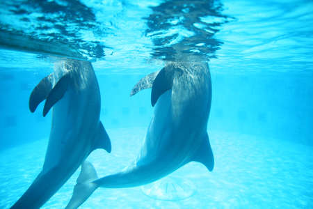 Dolphins underwater playing and swimming.