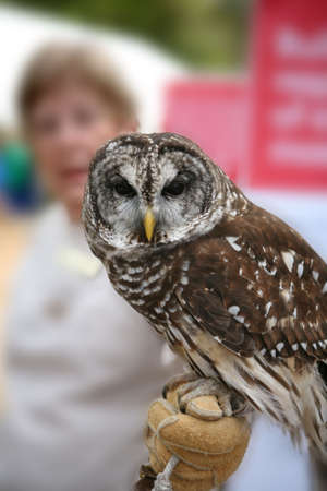 Full front view of the face of a brown and white owl perched on handlers gloved hand.