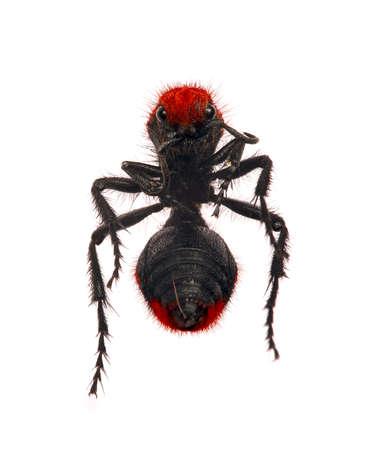 wingless: Velvet ant  Red velvet ant  Cow Killer ant  Wingless wasp  Stock Photo