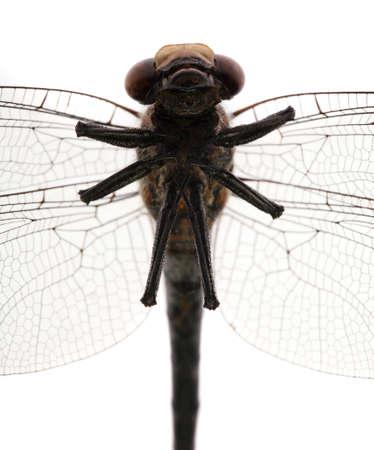 Dragonfly head, torso, and abdomen view