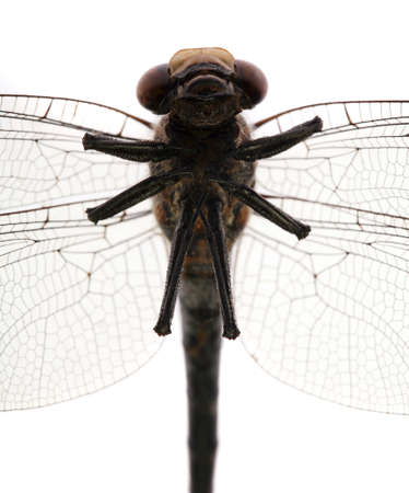 Dragonfly head, torso, and abdomen view