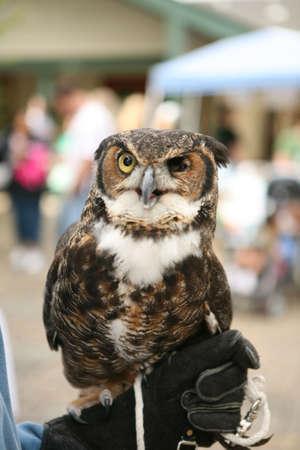 Great horned owl missing left eye Stock Photo