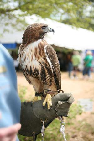 shouldered: Red shouldered hawk with handler