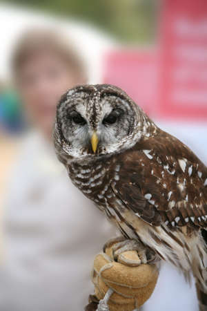 Northern Spotted Owl with handler Stock Photo