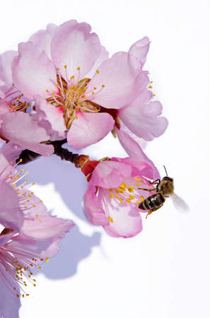Almond Branch and Bee photo