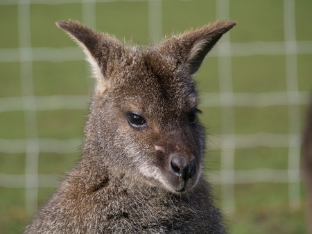 animal pouch: wallaby posing for a portrait Stock Photo