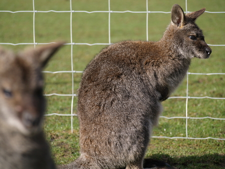 wallaby: wallaby standing in a field Stock Photo