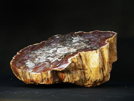 petrified fossil: fossilized  petrified madagascan tree fossil