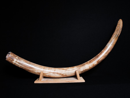 wooly mammoth pre historic siberian fossil tusk Stock Photo