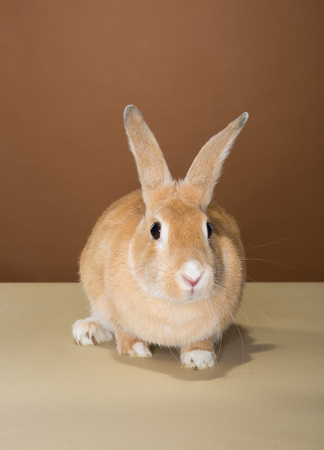 lays down: bunny rabbit posing in a studio against a cream and brown wall Stock Photo