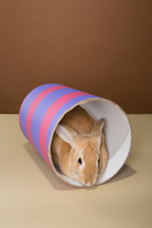 lays down: bunny rabbit posing in a tube in a studio against a cream and brown background