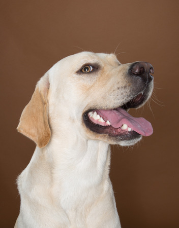 wagging: labrador posing in a studio against a cream and brown wall Stock Photo