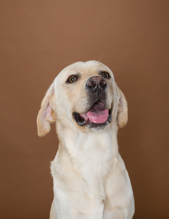 wag: labrador posing in a studio against a cream and brown wall Stock Photo