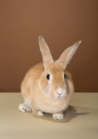 bugs bunny: bunny rabbit posing in a studio against a cream and brown wall Stock Photo