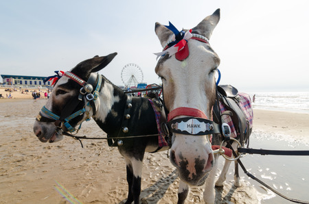 rides: donkeys on blackpool beach donkey rides