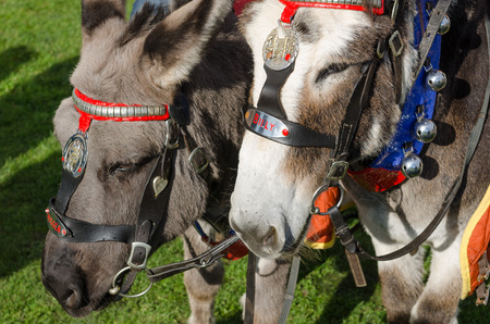 rides: grey british seaside donkeys used for donkey rides